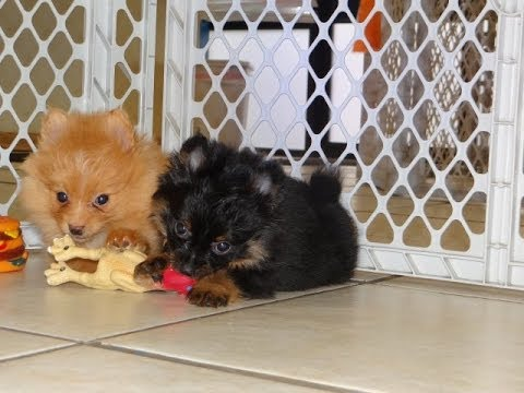 pomeranian for sale in sc pomeranian puppies dogs for sale in charleston south 6526