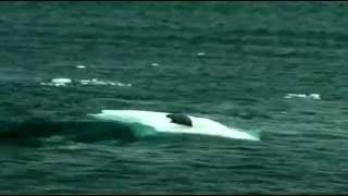Касатки  охотятся на Тюленя застрявшего на льдине!!
