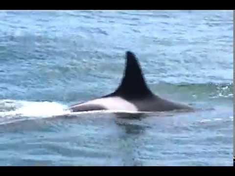 Orcas of the San Juan Islands 2002