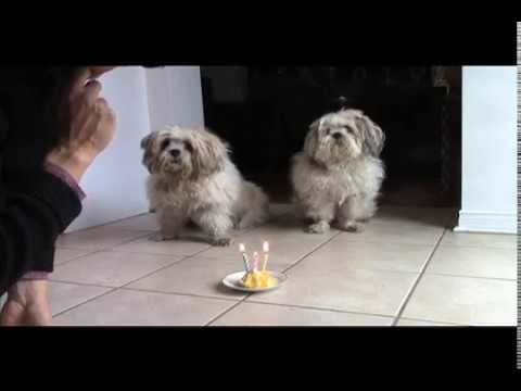 Lhasa Apso Small Dogs Celebrate 13th Birthday -  Stars Of Dog Obedience Training Video