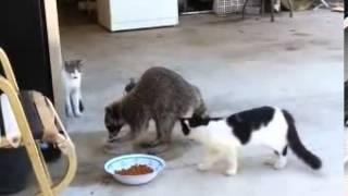 прикол енот ворует у котов еду funny raccoon stealing food in cats