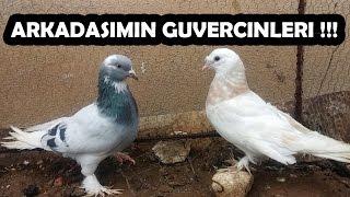 Arkadaşımın Güvercinleri 2