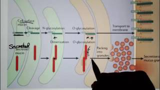 Digestive System 7 Mucin and Mucus