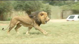 Лев загрыз 22-летнюю американскую туристку в одном из сафари-парков в ЮАР(Трагический инцидент произошел недалеко от Йоханнесбурга. Ее спутник из ЮАР также пострадал в результате..., 2015-06-01T21:33:49.000Z)