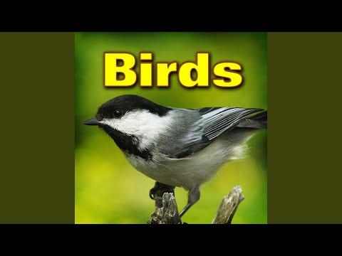 North American Song Birds by Day Sound Effects Birdman
