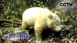 [中国新闻] 四川卧龙拍摄到全球首例白色大熊猫 | CCTV中文国际