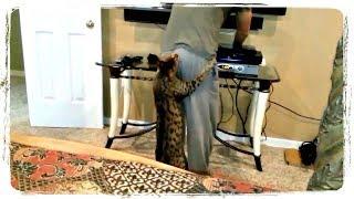 КОТ КУСАЕТ ЗА ПОПУ, смешные коты и кошки | FUN WITH ANIMALS, funny cat compilation #420