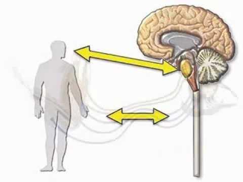 Нервная система человека классификация, строение, принцип