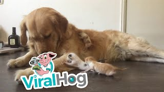 Golden Retriever Cares for Kittens || ViralHog
