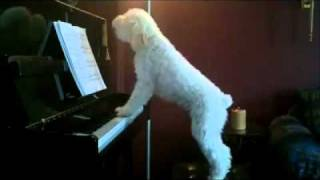 Sing Like No One Is Watching - Poodle Dog Playing Piano & Singing (howling)