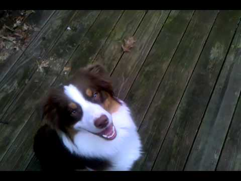 Teak (Aliyah's Lil' Red Waggin') - basic obedience