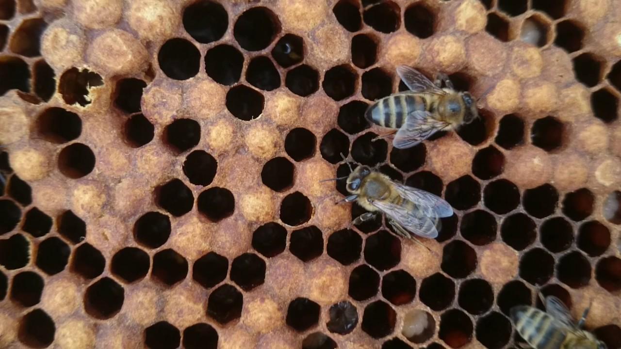 горбатый расплод у пчел фото согласилась