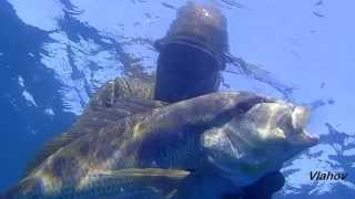 Spearfishing, Podvodni ribolov, Oleg Vlahov, Dentex Dentex IV, 2015