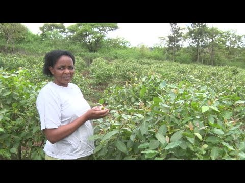 Miraa Farming Tips: From Planting To The Market  - Eye On County