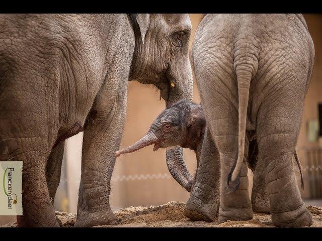 Kai-Mook, de eerste Belgische olifant, is mama!