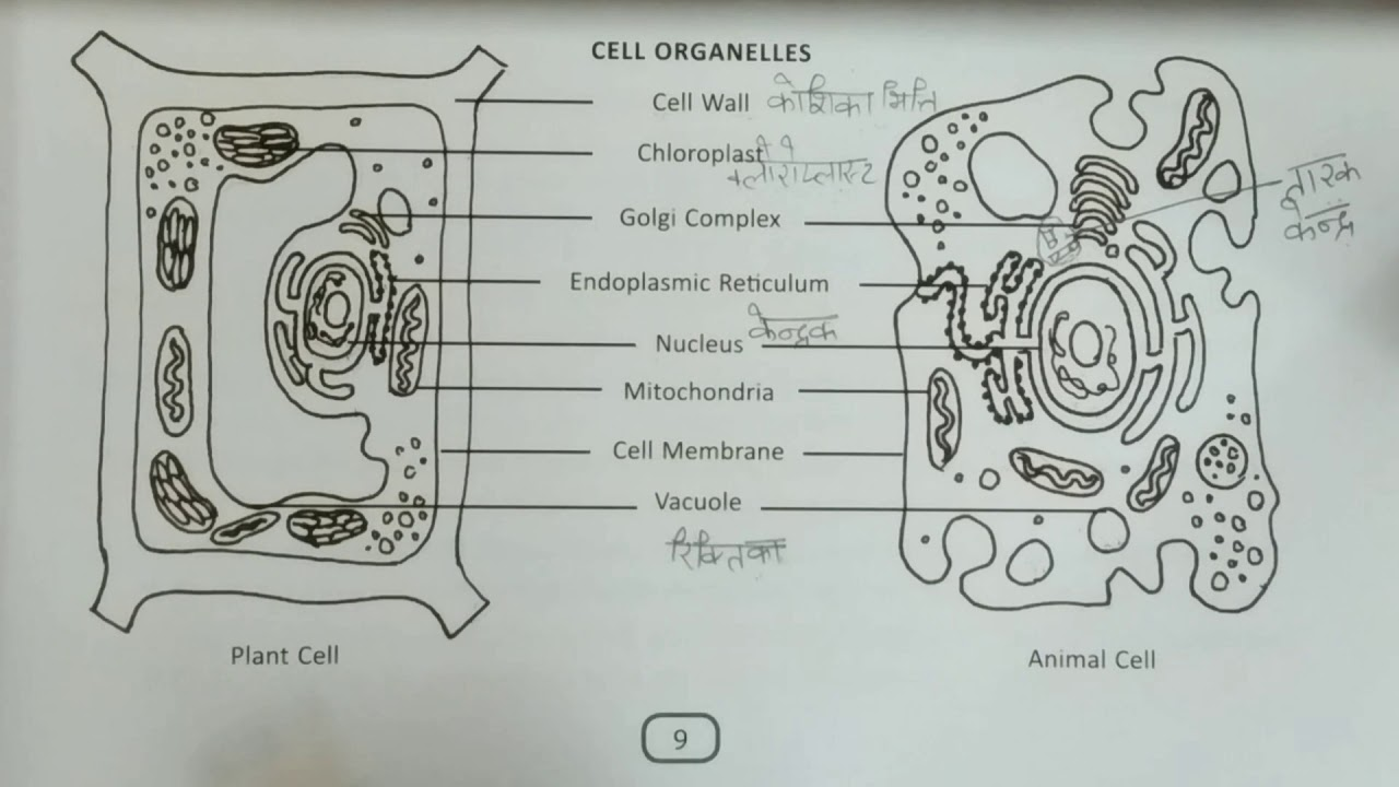 Difference between plant and animal cell (Hindi) | Class 9 ...