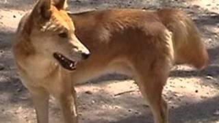 O dingo - o cão selvagem da Austrália! Australian wild dog - Dingo!