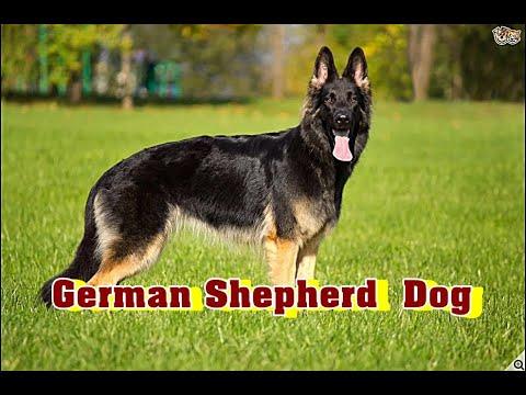 German Shepherd Dog  Breed History | ஜெர்மன் ஷெப்பெர்டு நாய்கள் வரலாறு |