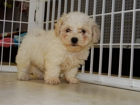 Teddy Bear Puppies Dogs For Sale In Denver Colorado Co