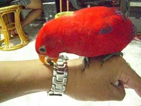 吸蜜鸚鵡洗澡-紅伶 | Doovi