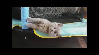 Любителям котят. Кот Барсик чавкает )))
