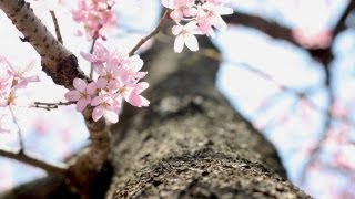 桜 SAKURA -2013- (Saxophone Quartet Ver. ) サックス4重奏版