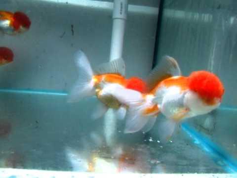 "SOLD: ""Zombie"" Red Cap Oranda Goldfish (Tank Red #215 ... Red Cap Oranda Goldfish"