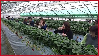 The Success Of Strawberry Farming Japan | Sweet Red Strawberry Japanese Agriculture
