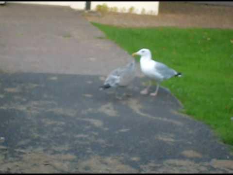 noisy baby seagull
