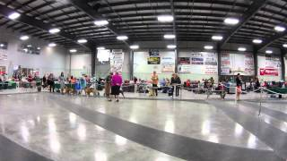 Amstaff Dogs At Calgary Kennel And Obedience Club Competition