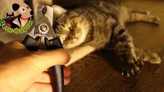 Как подстричь когти кошке? Как приучить кошку стричь когти?