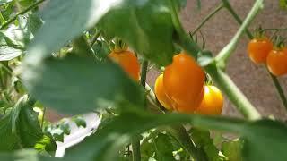 베란다 토마토, 고추 기르기 . tomato and p…