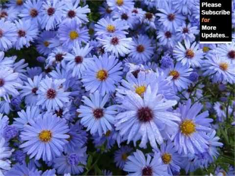 blue asters flowers beautiful pictures romance, Natural flower