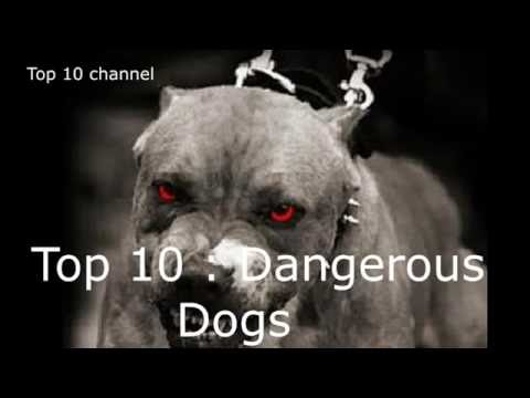 Top 10 - Dangerous Dogs In The World