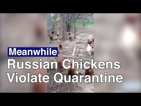 Russian Chickens Scolded For Disobeying Quarantine | The Moscow Times