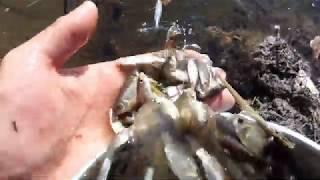 Спасение рыбы из лужи Много карася Часть 2
