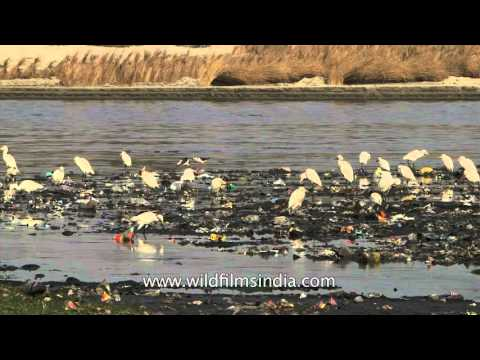 Egrets forage on filthy banks of River Yamuna in Agra