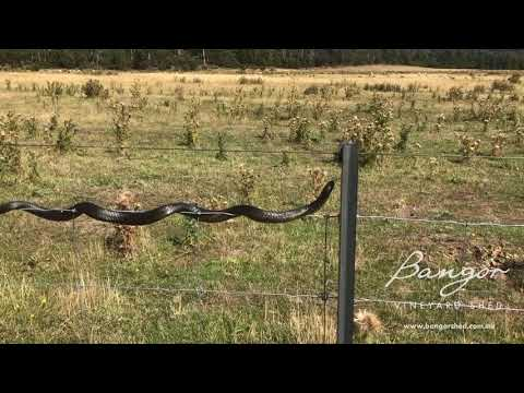 Snake Video - Bangor Tasmania