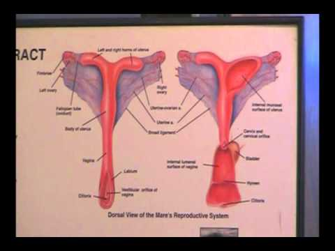 Equine reproductive ultrasound techniques youtube ccuart Image collections