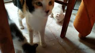 Cat and kitten licking whipping cream