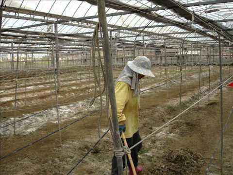 有機溫室玉女小蕃茄栽培方法-溫室栽培的嬌嫩玉女小番茄