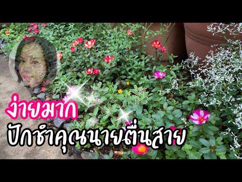ปักชำดอกคุณนายตื่นสายง่ายมาก สวยออกดอกเก่ง - วันที่ 08 Aug 2019