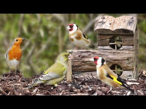 Beautiful Garden Birds at The Log House - Greenfinch, Bullfinch, Goldfinch, Robin, Dunnock & More