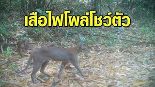 'เสือไฟ' สัตว์ป่าหายาก โชว์ตัวผ่านหน้ากล้อง ในเขตรักษาพันธุ์สัตว์ป่าฯ กรมหลวงชุมพร