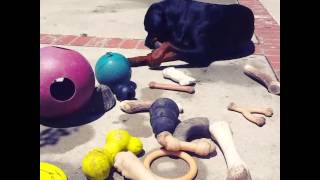 Rottweiler Collection Of Toys Found In Yard This Morning