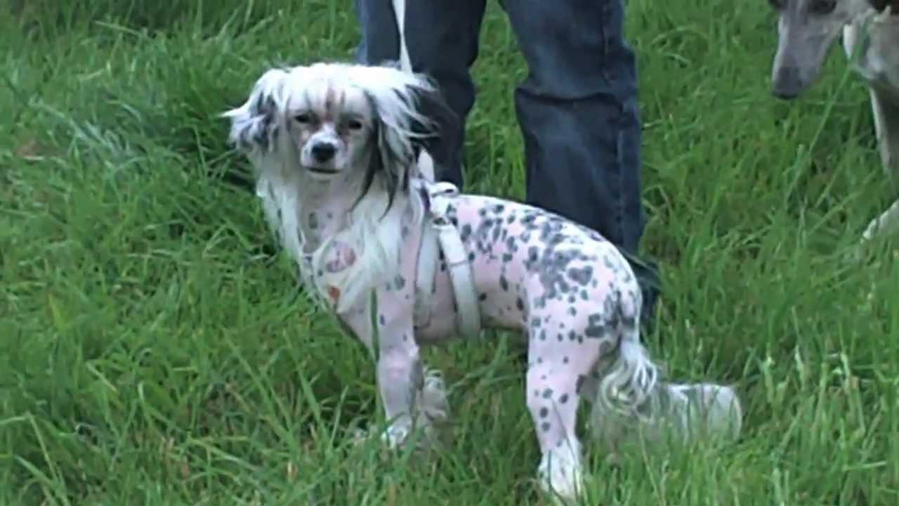 Gillies Leap Fun Dog Shows