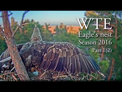 Life in white-tailed eagles' nest in Estonia. Part 1, 2016