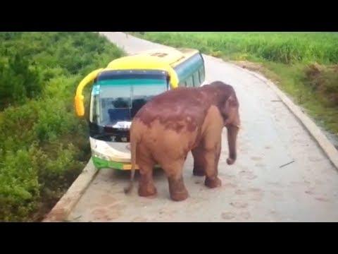 Elephant attacks vehicles in southwest China