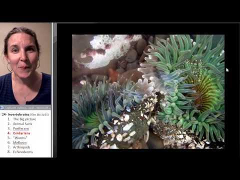 Cnidaria (Biology Course)