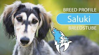 Saluki Breed, Temperament & Training
